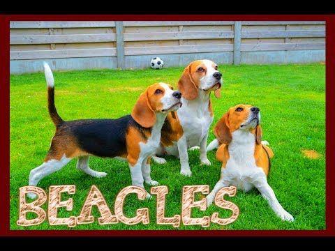 Beagle Temperament Youtube Beagle Temperament Beagle Dog
