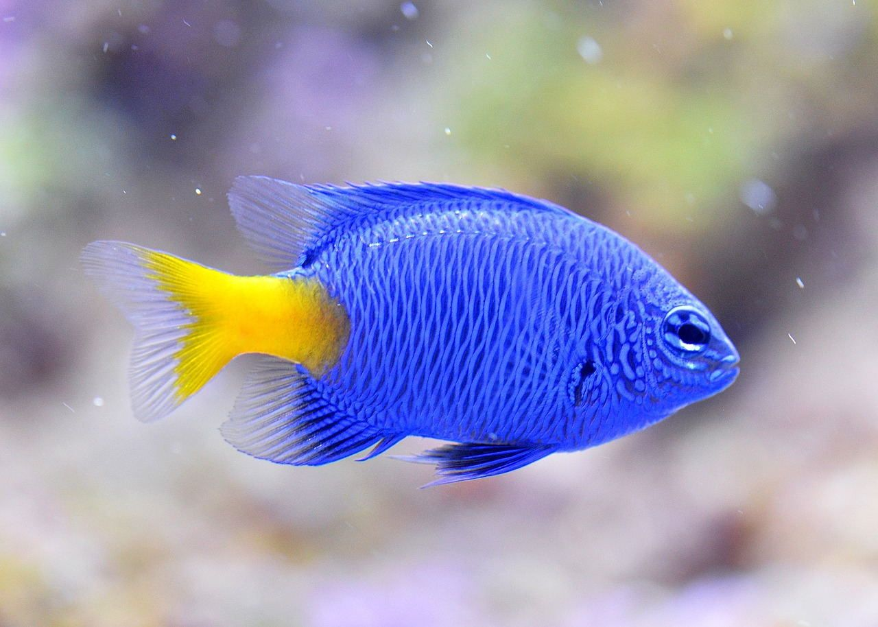 The Yellow-tailed Blue Devil is a very popular little damselfish, with a bright blue body and a golden yellow tail.