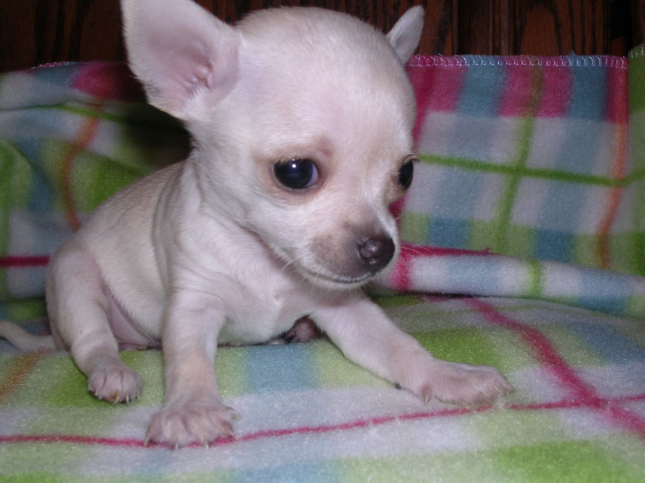 Pedigree Small White Chihuahua Teacup Female Puppy Teacup