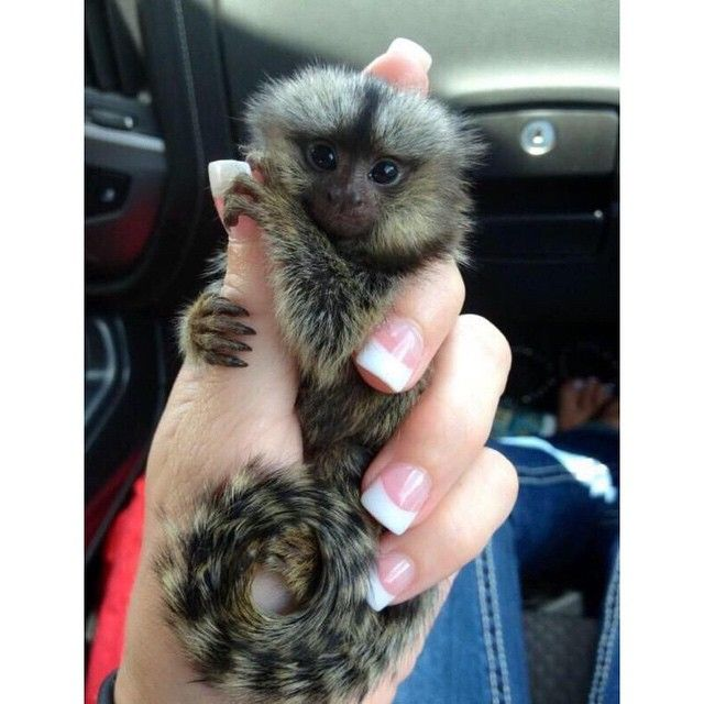 Earth Pics On Instagram Now I Want A Finger Monkey Cute Baby Animals Finger Monkey Cute Animals