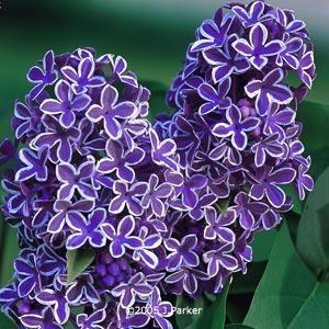 White Edged Lilac Sensation Lilac Tree Flower Garden Plans Purple Flowers