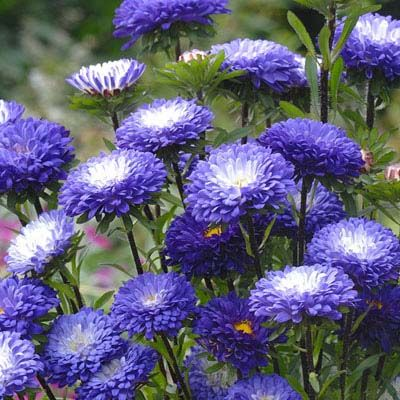 Aster Matsumoto Blue Tipped White Aster Flower Flower Garden Plans Chrysanthemum Seeds
