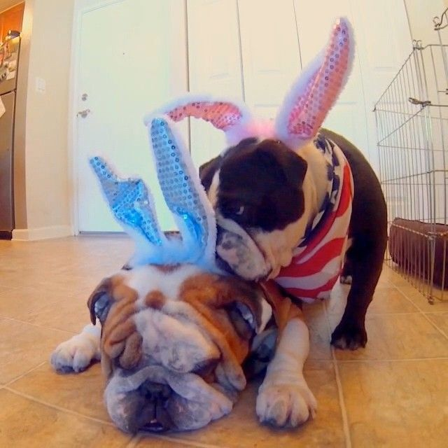 Jazzy making sure Bents ears are fixed for maximum embarrassment #easterhams #Padgram