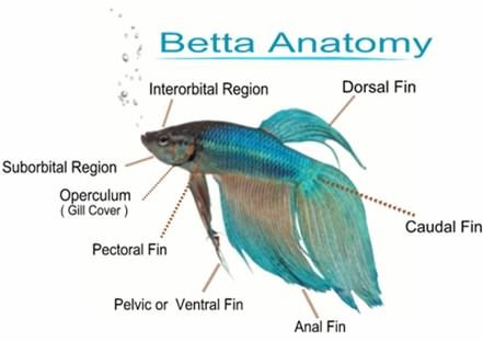 betta fish anatomy - Google Search | Fishyfishyfishy | Pinterest ...