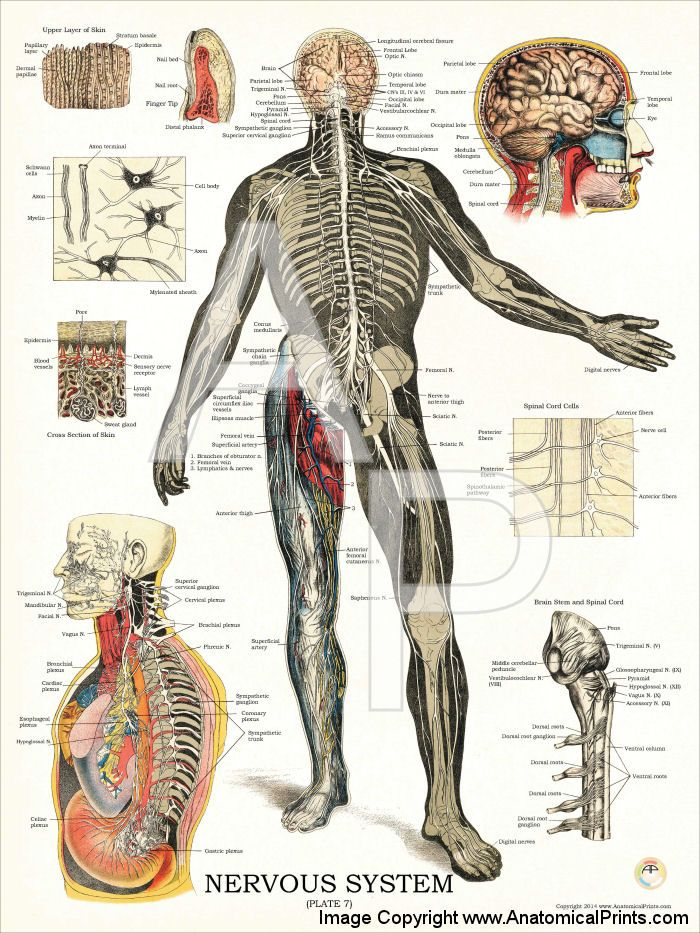 Nervous System Plate 7 18 X 24 Nervous System Anatomy And