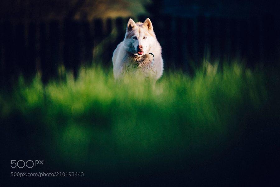 Husky by adam_adventure_photos via http://ift.tt/2p1GIL8