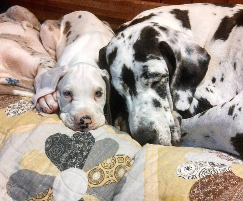 Explore Org Sdp Pam Paul With Images Great Dane Dogs Great