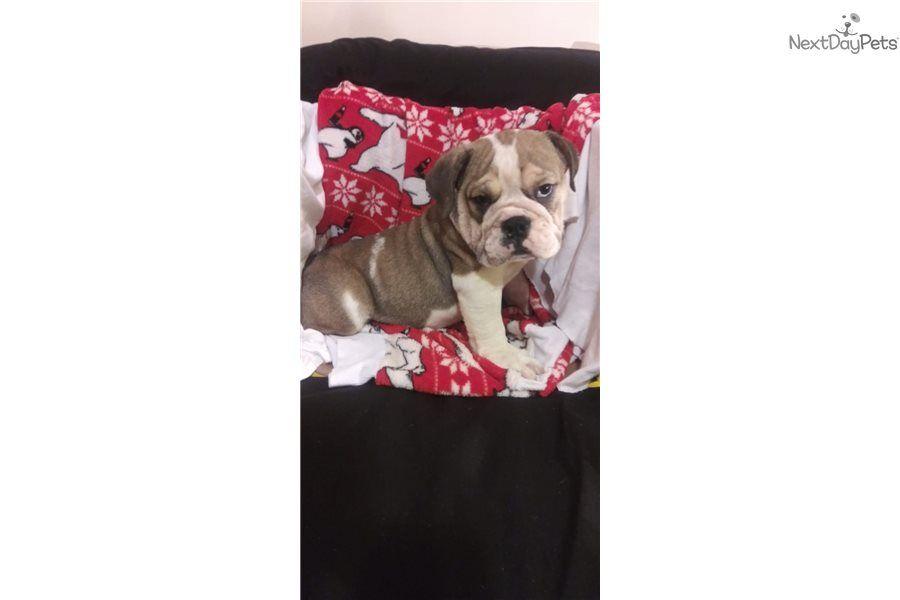 English Bulldog Puppy For Sale Near New Haven Connecticut