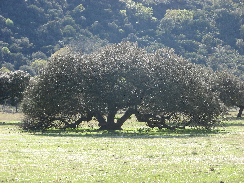 Un árbol amigo de las cabras, probablemente un acebuche. O encina.
