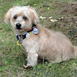 Missy GA is an adoptable Yorkshire Terrier Yorkie Dog in Atlanta, GA. UPDATED BIO 11/17/2012: Missy is a 7 year old 15 lb yorkie-poo who is being fostered in Suwanee, GA. Here's what she had to say re...