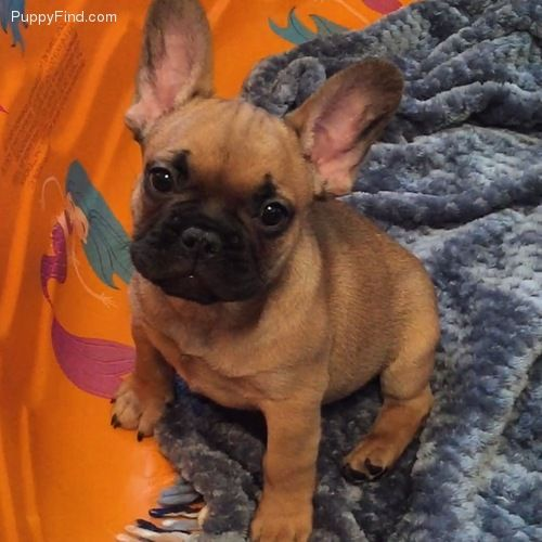 French Bulldog Puppy Puppyfind Com French Bulldog English