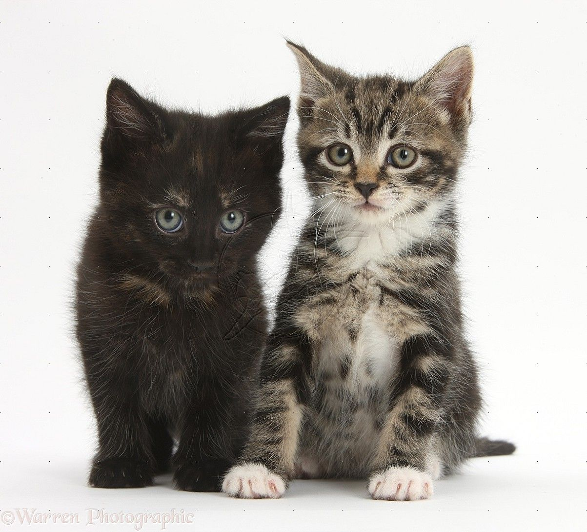 Tabby And Black Kittens Photo Kitten Photos Tabby Kitten Kitten Wallpaper