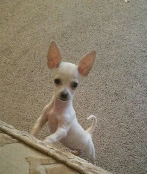 Chihuahua For Sale England Gumtree Chihuahua For Sale