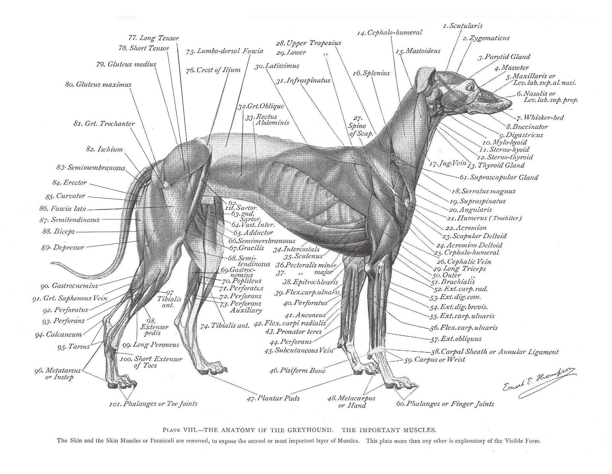 Greyhound Muscle Plate In 2020 Dog Anatomy Grey Hound Dog