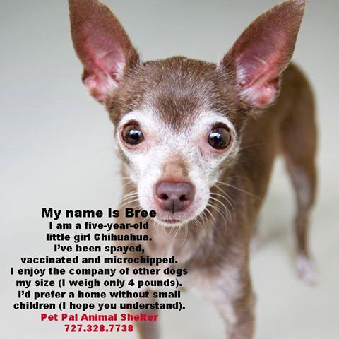 Are You Looking For A Chihuahua Look Who Is Available At Pet Pal