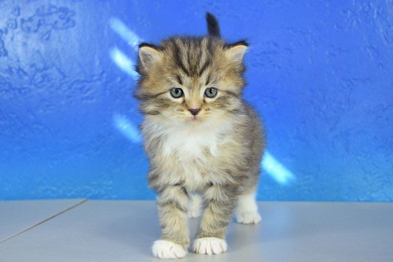 Leonardo Black Mitted Lynx Solid Male Ragamuffin Kitten Teacup Cats Ragamuffin Cat Ragamuffin Kittens