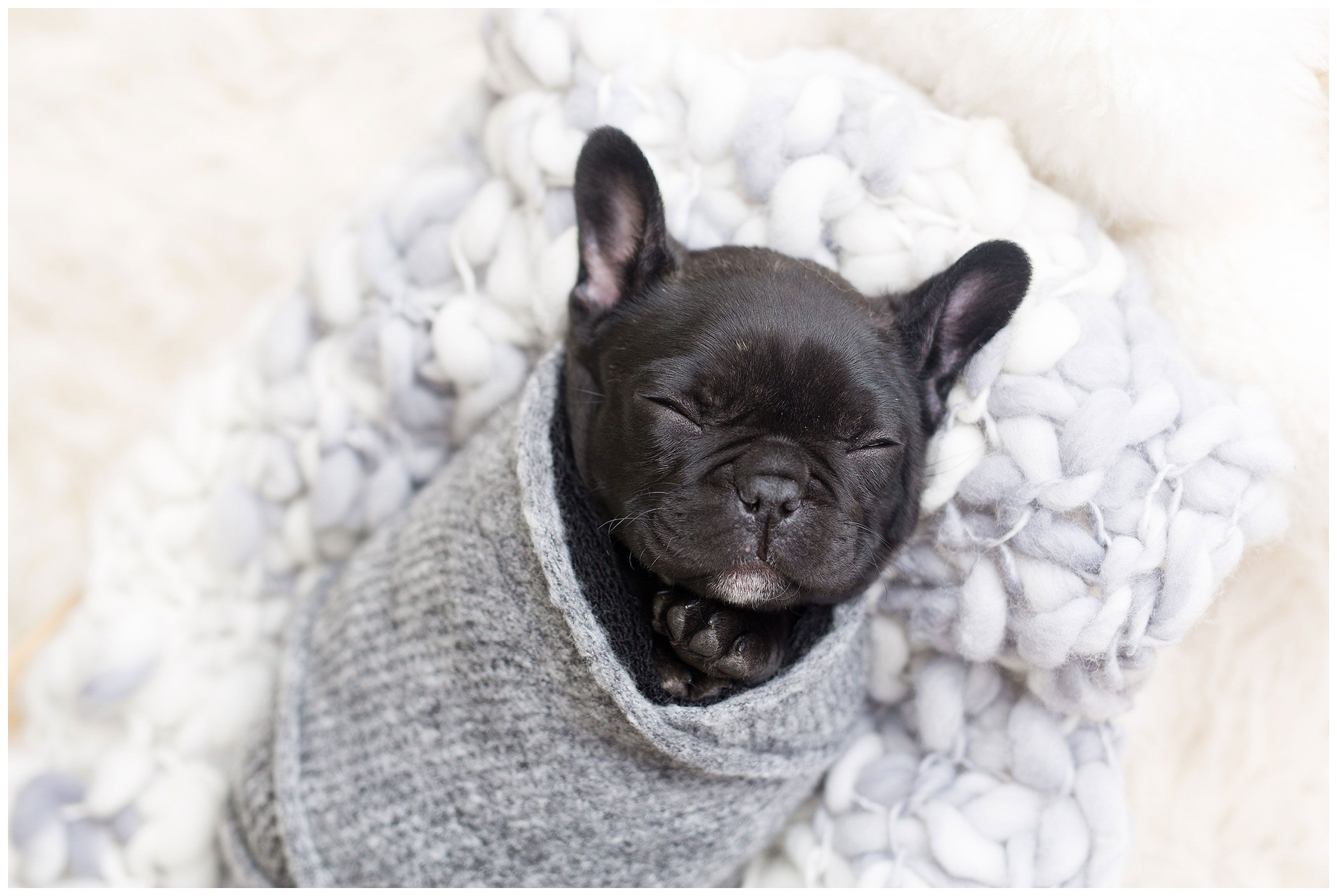 Oh Baby French Bulldog Puppy Gets Her Own Precious Newborn Photoshoot Newborn Puppies Bulldog Puppies Baby French Bulldog