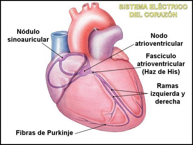 Cómo funciona el sistema eléctrico del corazón | Medicina y salud ...