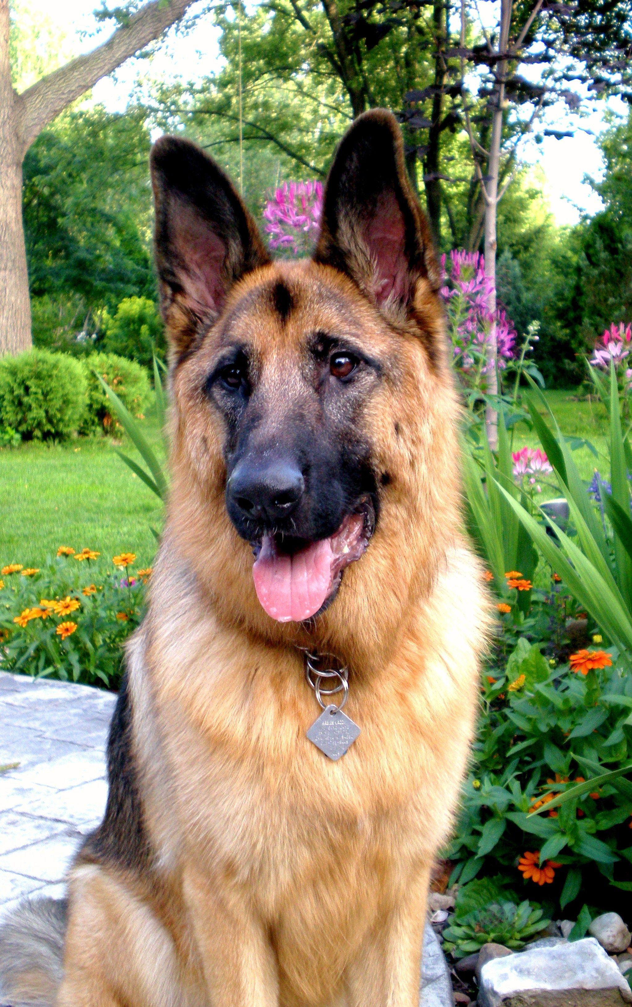 german shepherd love (With images) German shepherd dogs