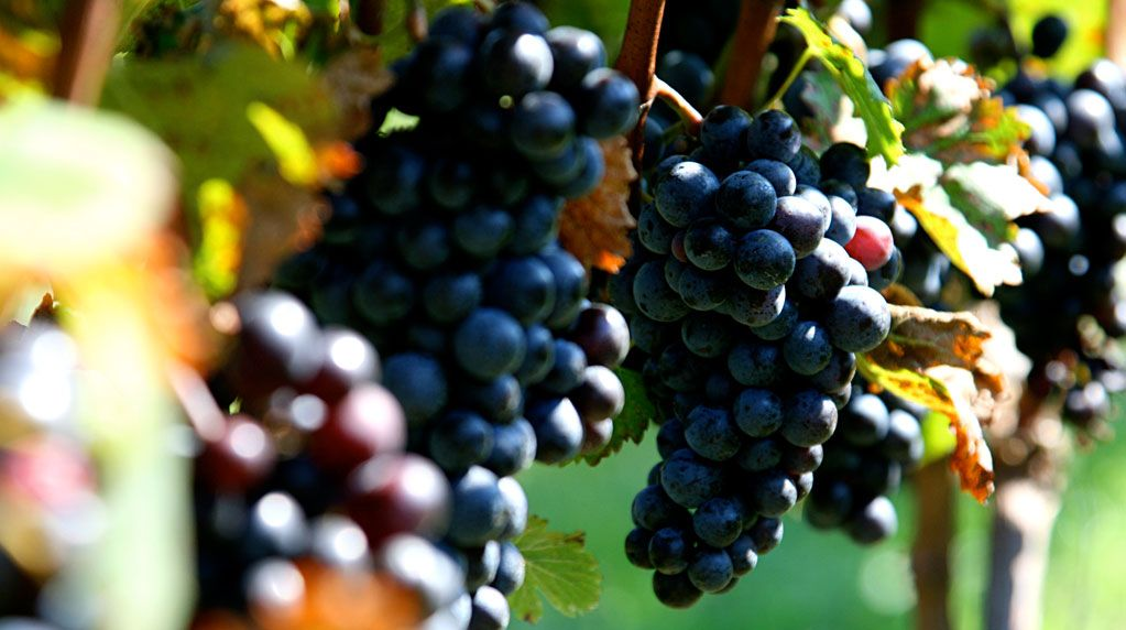 grapes from Saltwater Farm Vineyard
