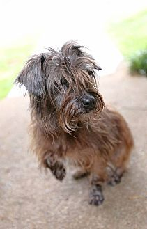 9 6 17 Allentown Pa Cairn Terrier Terrier Unknown Type Small Mix Meet Jester A Dog For Adoption Cairn Terrier Cairn Terrier Mix Terrier