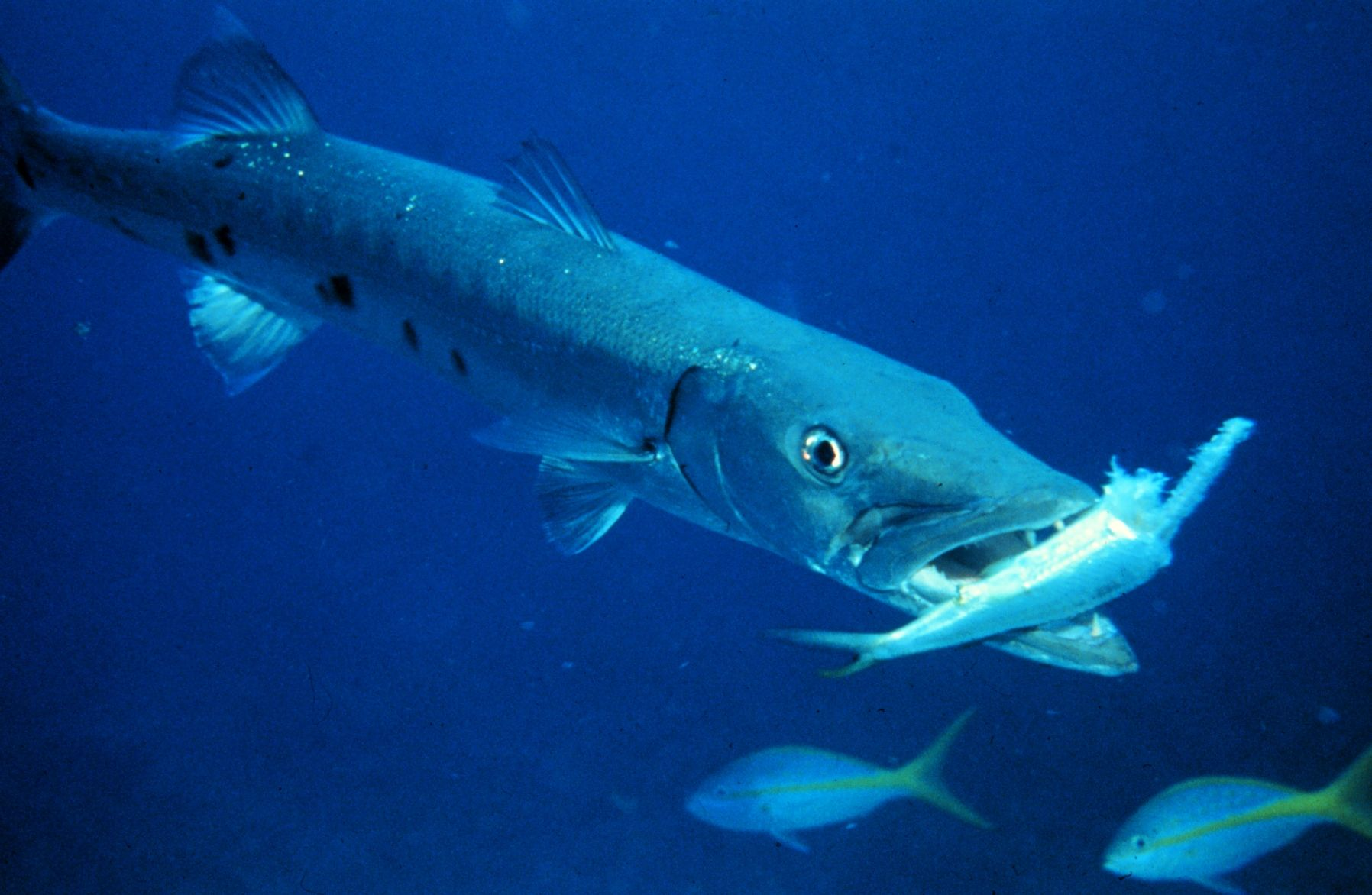 Barracuda The Real Kind The Blue Beyond Pinterest Fish