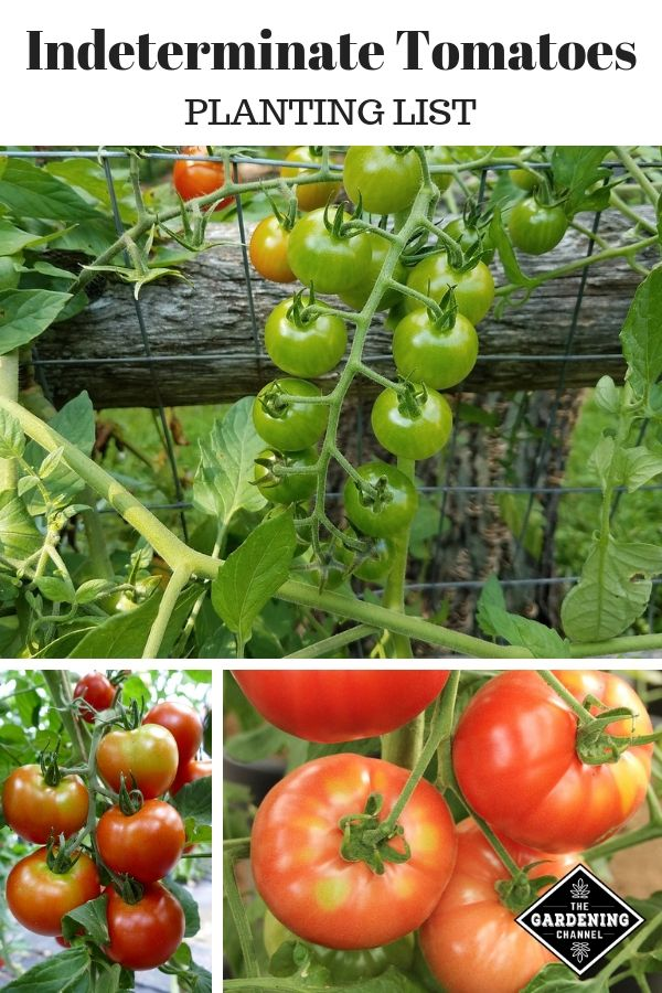 List of Indeterminate Tomatoes from A to Z Garden plants