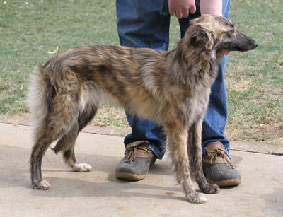 long haired whippit greyhounds