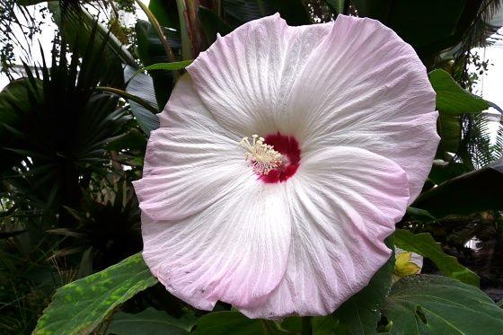 Hibiscus Des Marais Fleur Vivace G Ante Jardinage