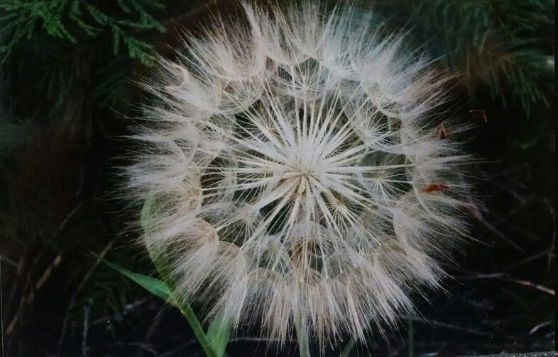 Nature photography day # 4. One of my favorite weeds and Ray Bradbury stories! ~ :  )