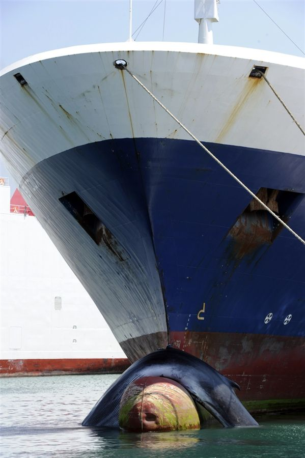 Whale Struck By Cargo Ship Between Tunisia And France Most - Cruise ship whale