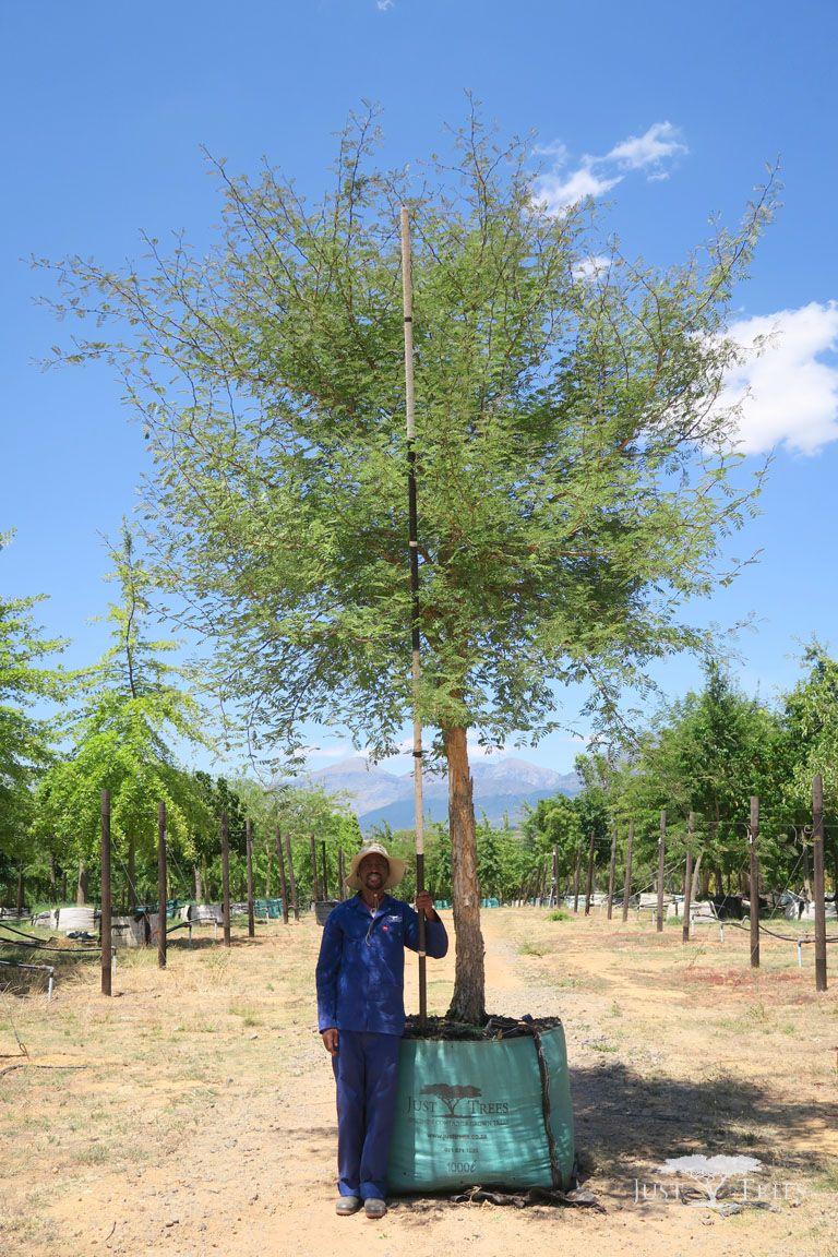1000l Acacia Galpinii Monkey Thorn Tree The Large
