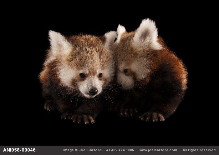 Twin three-month-old red pandas (Ailurus fulgens) at the Lincoln Children's Zoo.