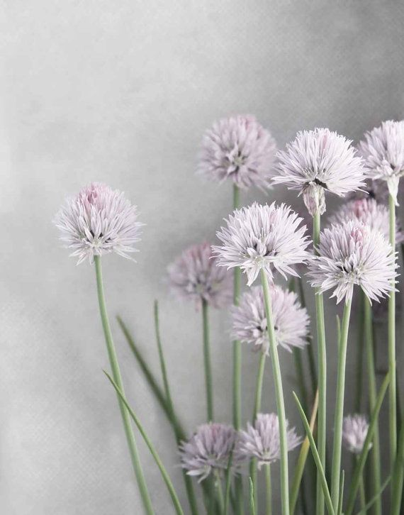Lavender and Green Chives Flowers on Soft Gray  by BrookeRyanPhoto