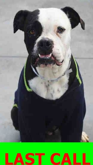SAFE --- MAMI (A1758690) I am a female black and white American Bulldog.  The shelter staff think I am about 2 years old and I weigh 62 pounds.  I was found as a stray and I am available for adoption.  Miami Dade https://www.facebook.com/urgentdogsofmiami/photos/pb.191859757515102.-2207520000.1455749042./1132264240141311/?type=3&theater