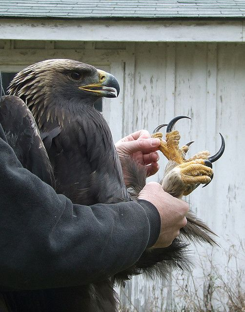 All About Eagle Talons - Bald Eagle Facts - YouTube