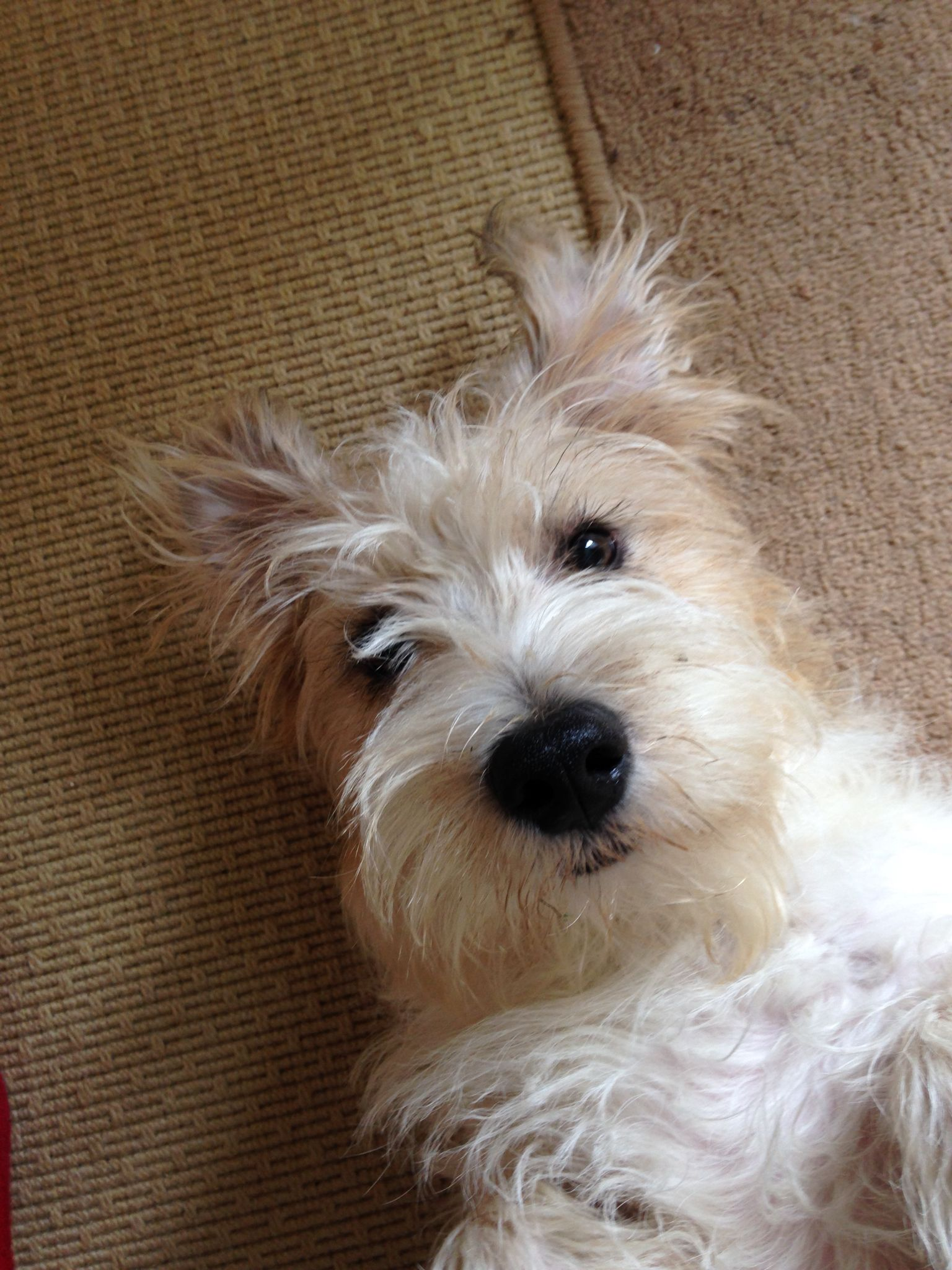 Sporting Lucas Terrier Tattie Scruffy Dogs Jack Russell