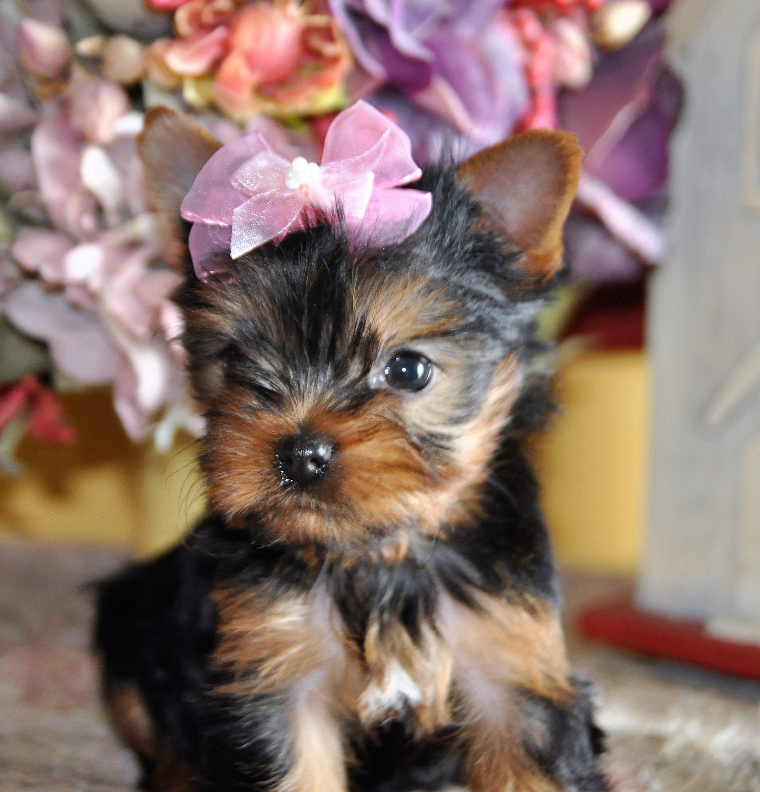 Yorkie Girl Yorkie Terrier Yorkshire Terrier Yorkie