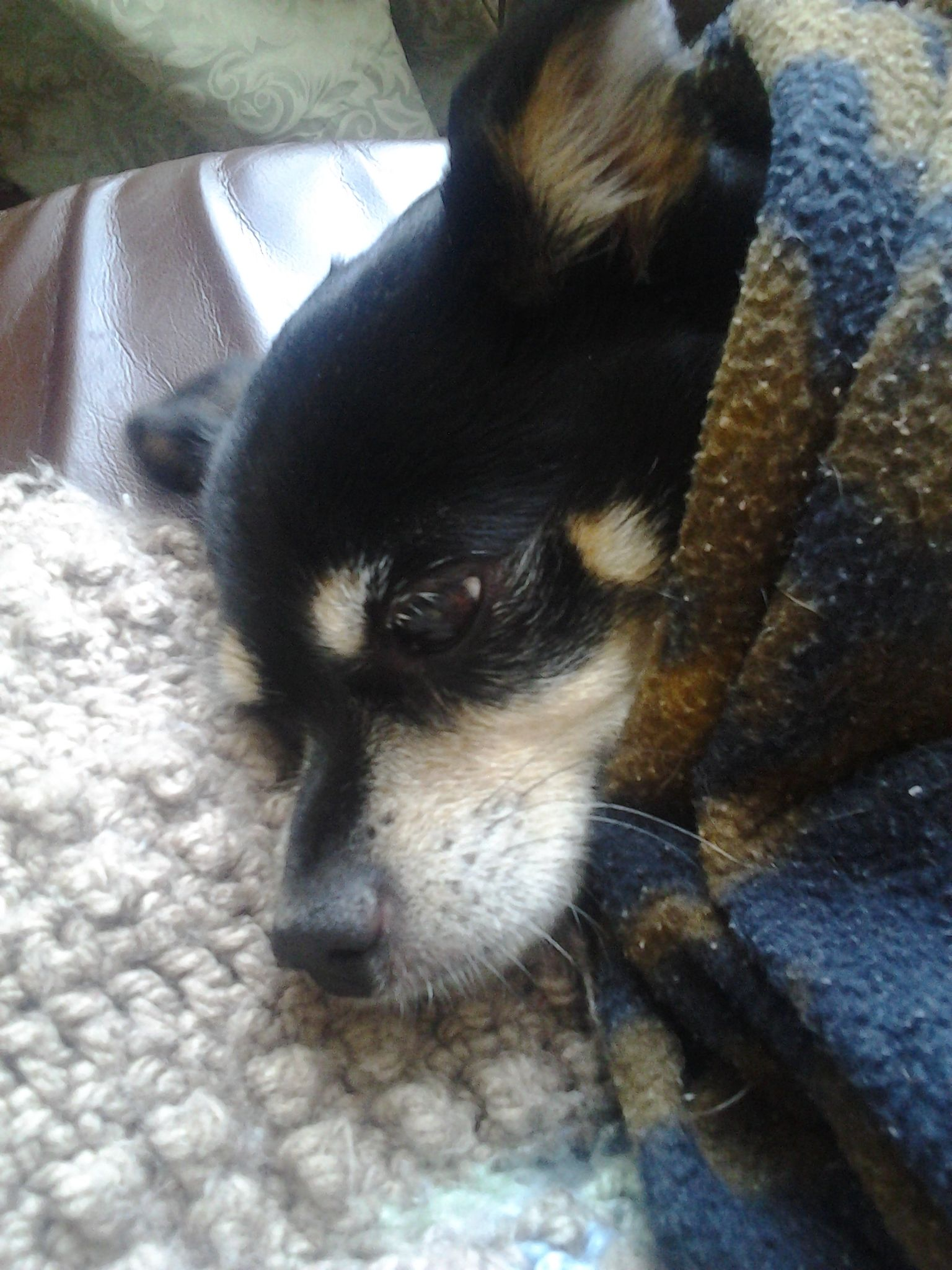 Winter's coming...brrrr...chihuahua wrap up like a burrito...