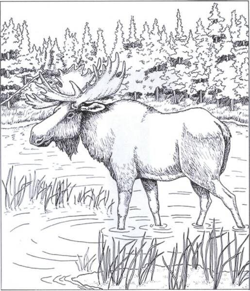 Free Coloring Pages Moose Bing Images Fargelegging Fargeleggingsark Kunst