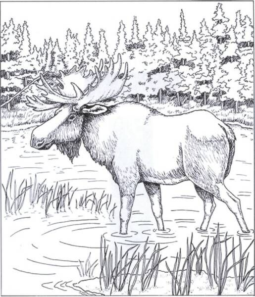 Free Coloring Pages Moose Free Printable Coloring Page From