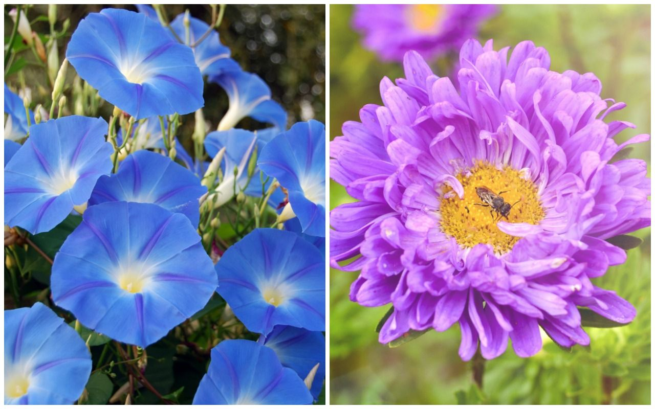 Birth Month Flowers Morning Glory Aster I Like The Way The Aster Looks In This One Birth Month Flowers September Birth Flower Birth Flowers