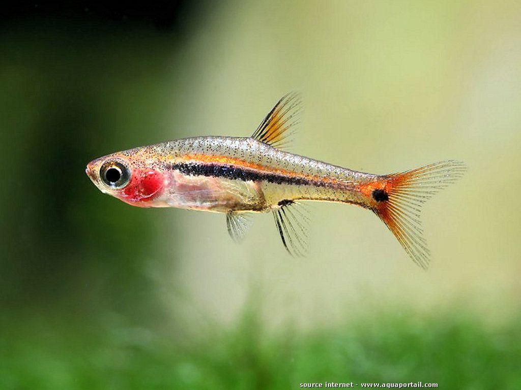Freshwater aquarium fish rasbora - Boraras Urophthalmoides Rasbora Point D Exclamation Levage Nano Aquariumfreshwater Fishaquascapingtropical
