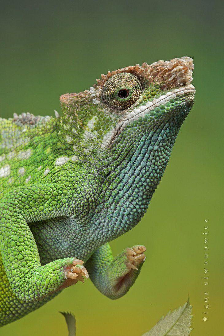 Fischer S Chameleon Reptiles And Amphibians Cute Chameleon