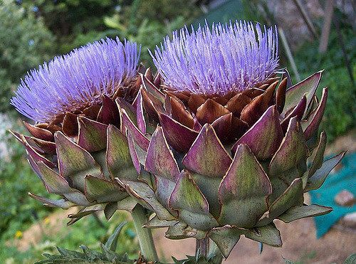 4 Artichoke Seeds | Cynara Scolymus | Unique Heirloom Organic Flower Buds Vegetables Herb Medicine Perennial Home Garden Plant Decor DIY  Globe artichoke is an heirloom vegetable grown for its tender, edible flower buds. With their large, silvery-green leaves and thick stems topped with pinecone-like flower buds, artichoke plants add a strong architectural element to vegetable garden plantings.  Thomas Jefferson reportedly raised artichokes at Monticello, his Virginia home, as early as 1767…