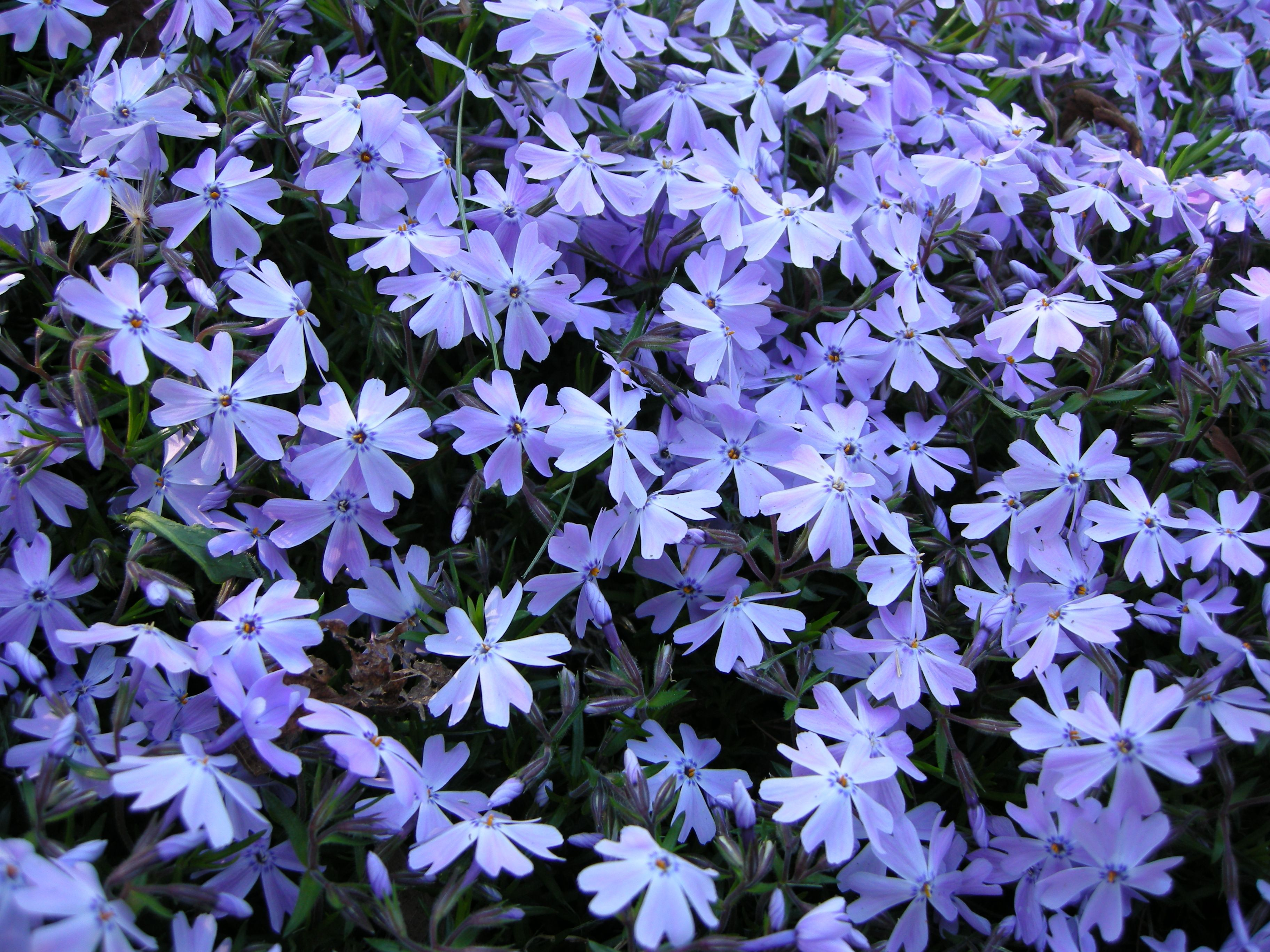 Emerald blue phlox i wish i had planted more of this last year it blue creeping phlox phlox subulata emerald blue this is what my daughter in law megan welsh is planting in her yard she received this plant by mail on izmirmasajfo