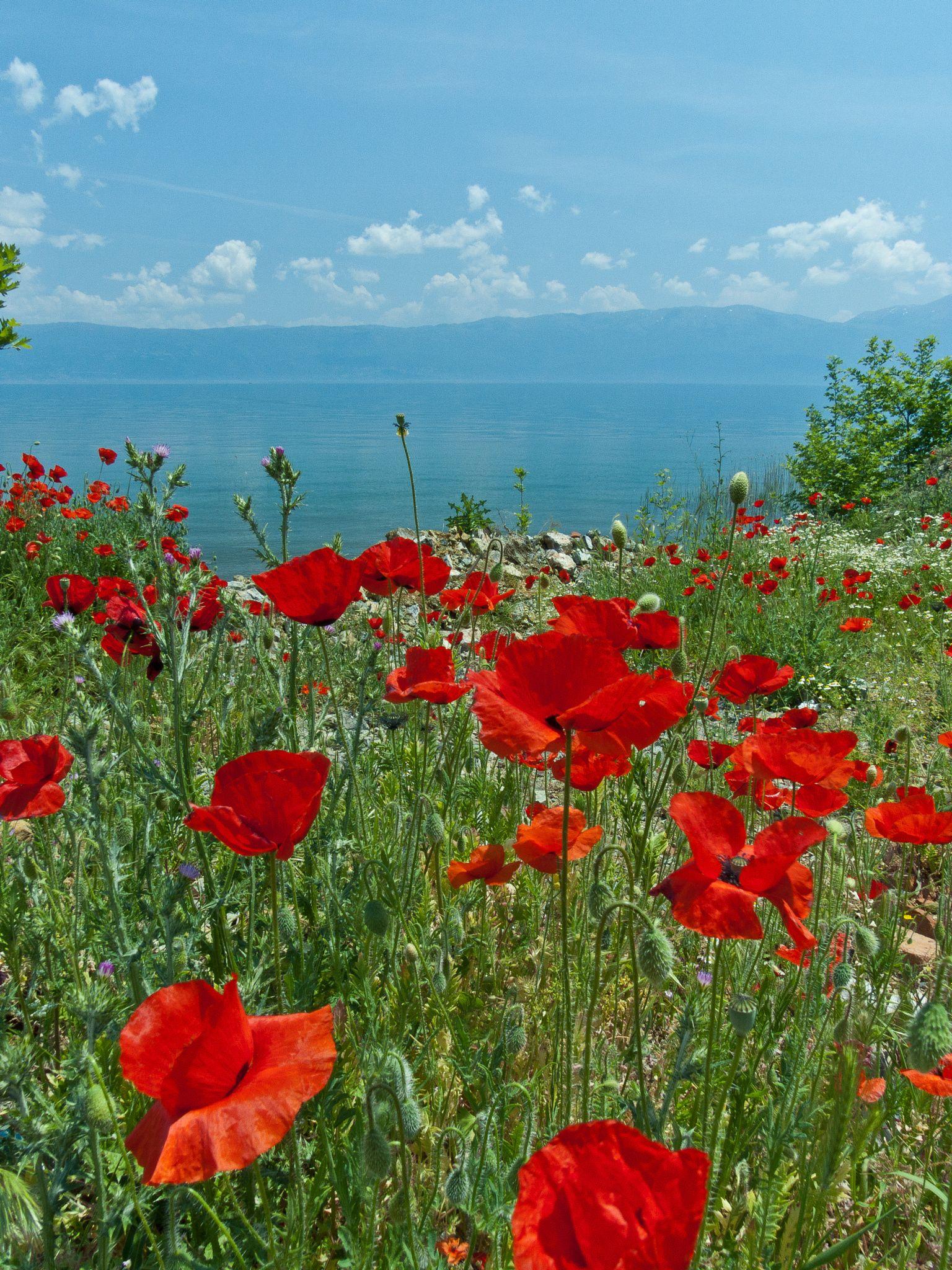 Ohrid Poppies by Tim Brook (Albania)