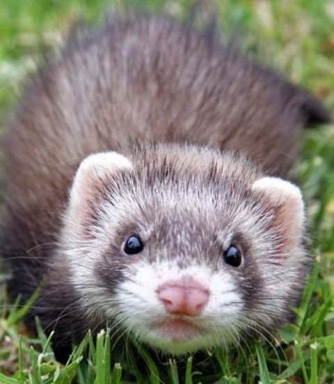 Your Top 100 Pet Questions Answered Cute Ferrets Pet Ferret