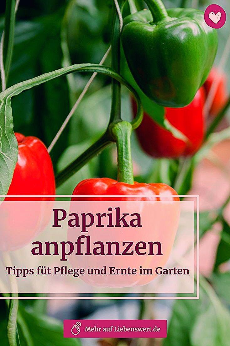 Photo of Paprika anpflanzen: Tipps für Pflege und Ernte im Garten