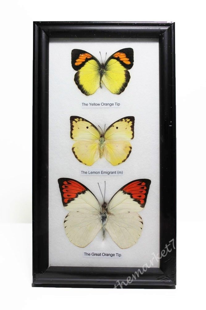 78 - 3 Real Butterflies Framed, Insect Wall Hanging, Bugs ...
